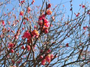 初詣 梅の花